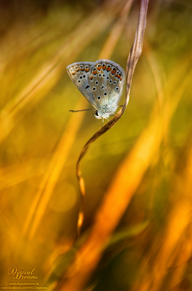 Photograph Polyommatus icarus by Norbert G on 500px