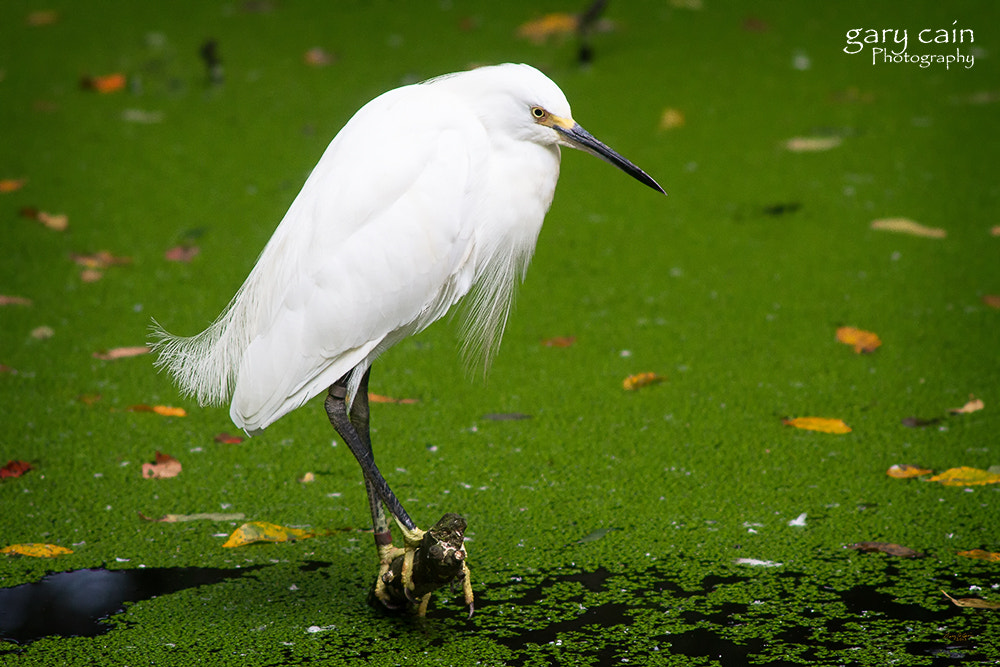 Photograph Snowy Egret on Duckweed Pond by Gary Cain on 500px