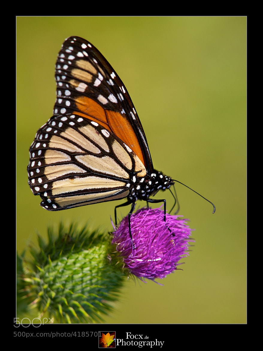 Photograph Monarch (Wanderer) by Christoph Rupprecht on 500px