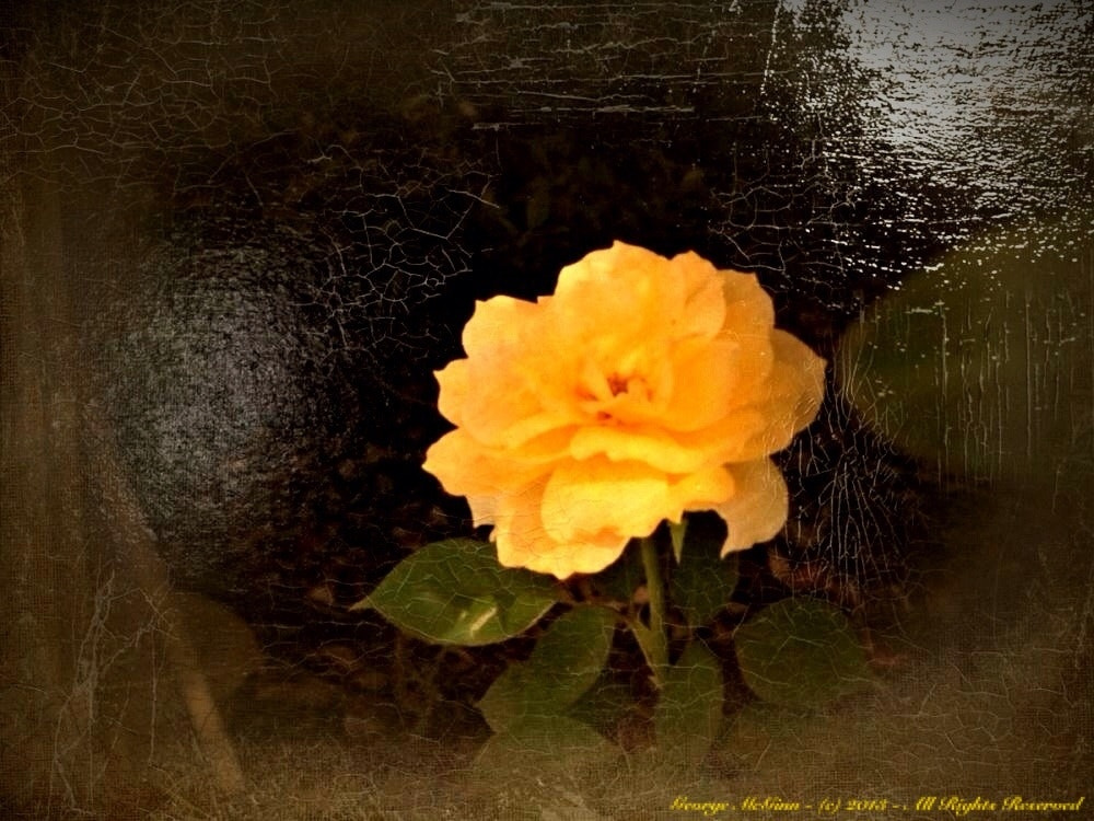 Photograph The Yellow Rose by George McGinn on 500px