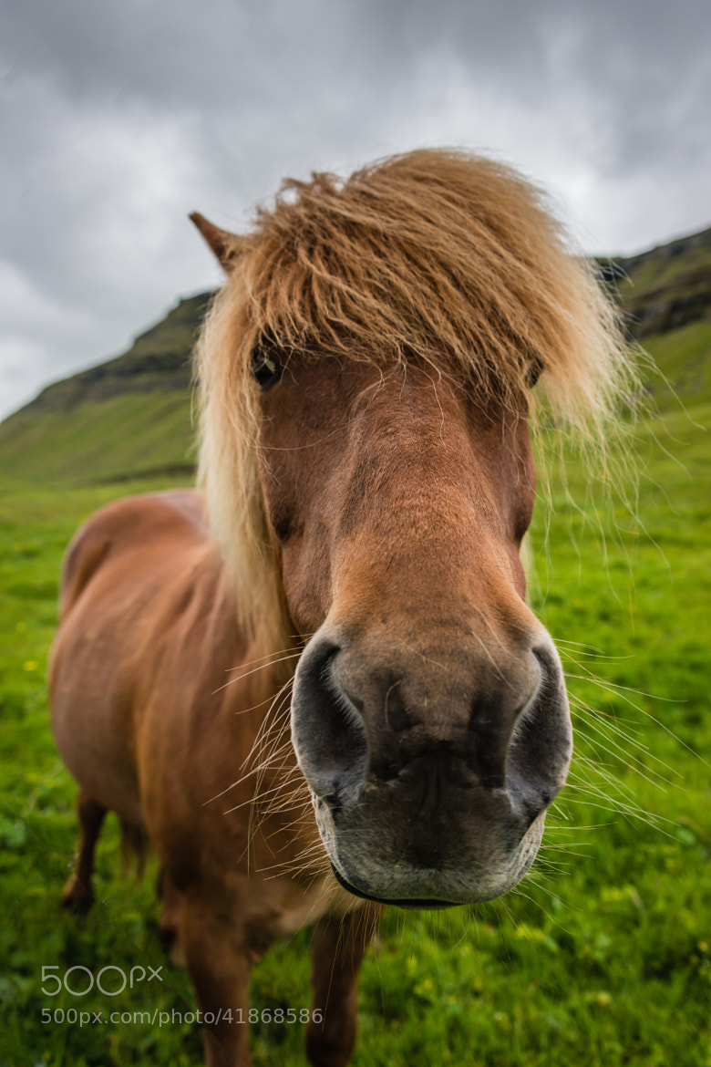 Photograph Curious Icelandic Horse by Simon Gelfand on 500px