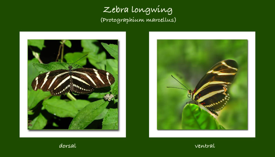 Photograph zebra longwing mosaic by Mim Eisenberg on 500px