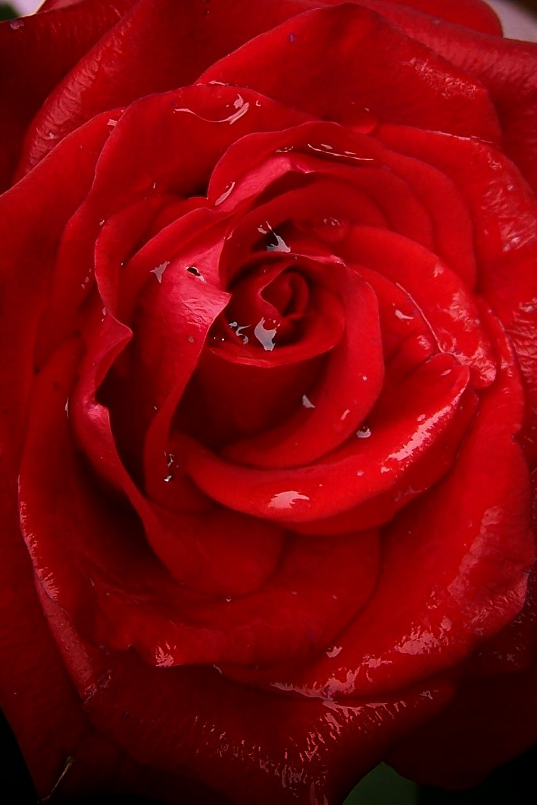 Photograph rose: red and wet by lucky hidden Dragon on 500px