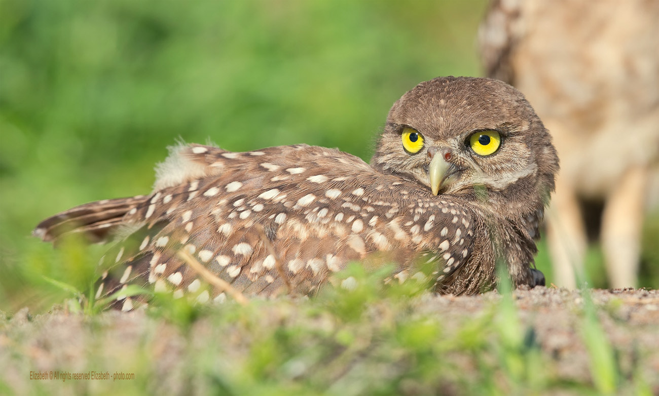 Photograph Burrowing Owl (chick) by Elizabeth  E. on 500px