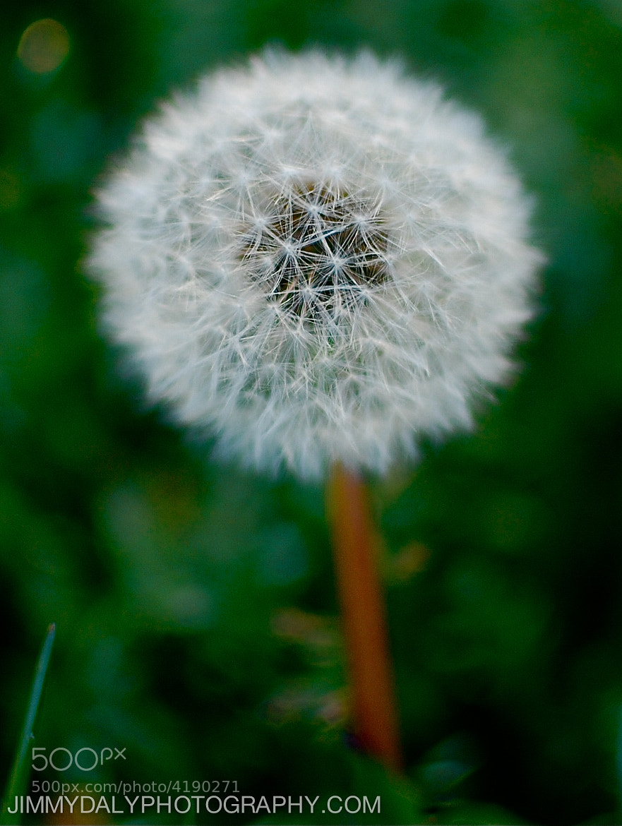 Photograph Dandelion by Jimmy Daly on 500px