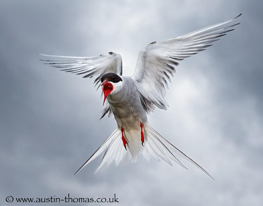 Angry Tern...