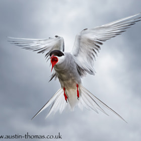 Here is an Arctic Tern showing some of its personality...