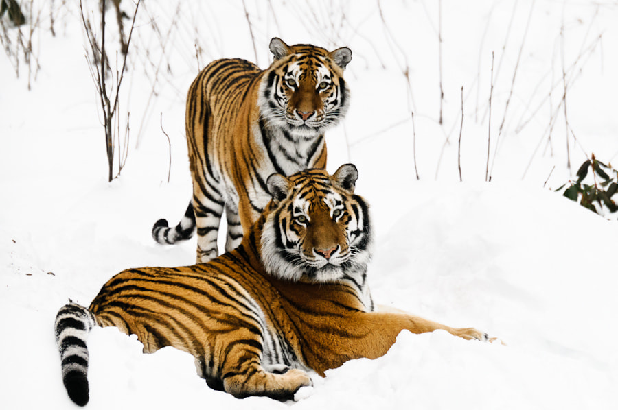 Photograph Tigers by Hans Lie on 500px