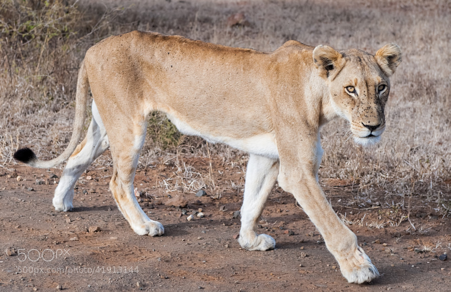 the first lioness i ever got really close to. Or, better, she got close to us, walked past the car and disappeared into the bush.  Seen on the S100, years ago.