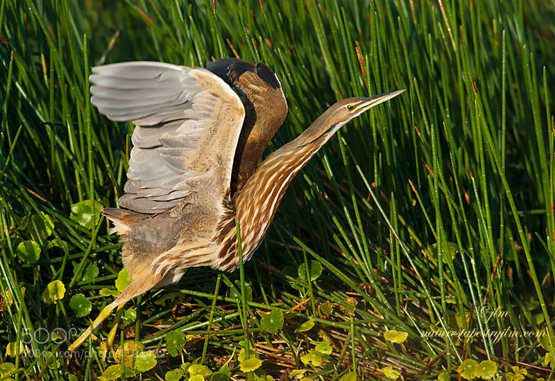 The American Bittern is quiet and elusive and a real challenge to get out in the open.  Fortunately this one was cooperative and I was able to capture a few images before he took off.