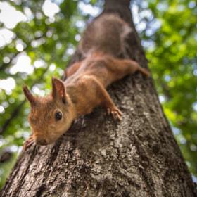 Squirrel by Игорь Балашов on 500px.com