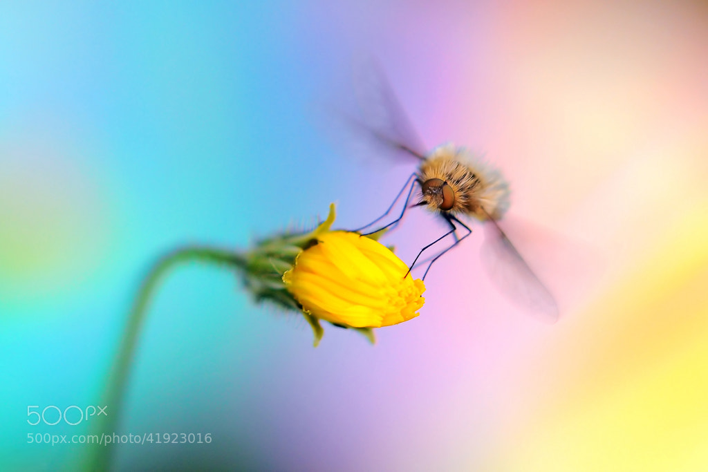 Photograph * Bombyle * by clement jousse on 500px