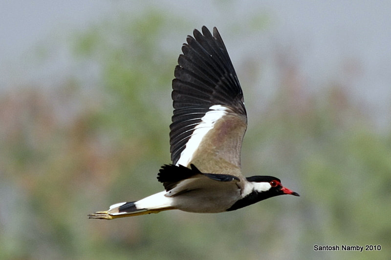 Photograph Red-wattled Lapwing by Santosh Namby on 500px