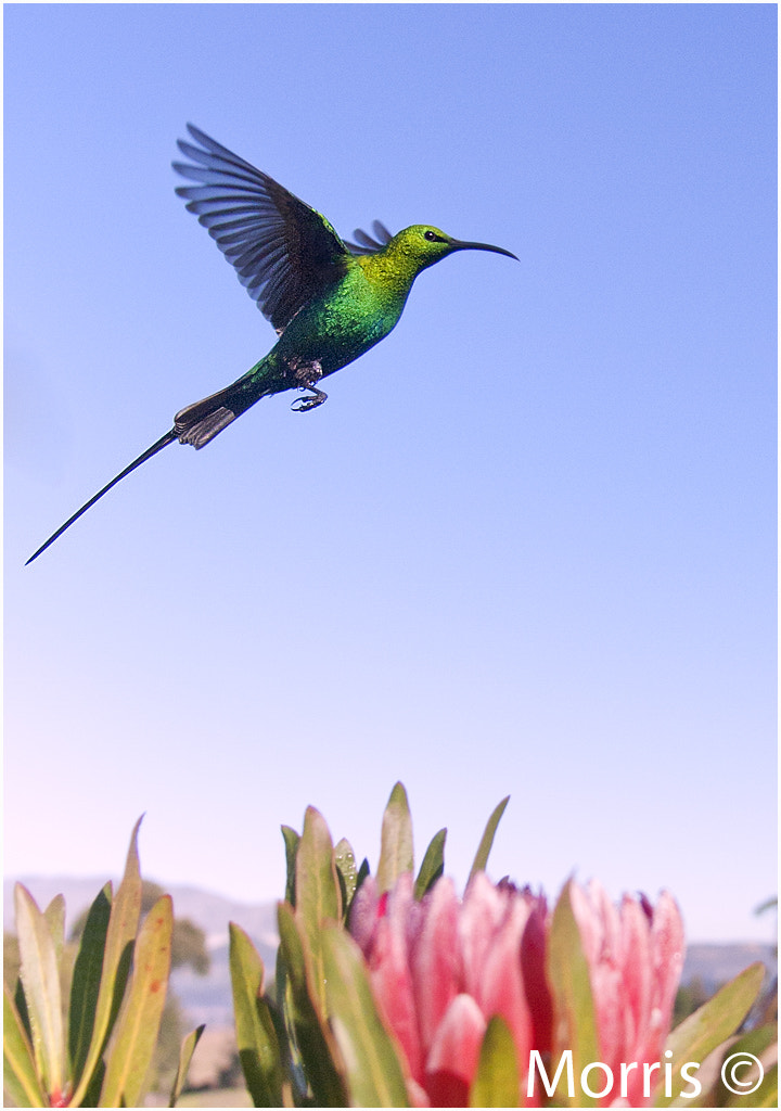 Photograph Sunbird Flight by Dave Morris on 500px