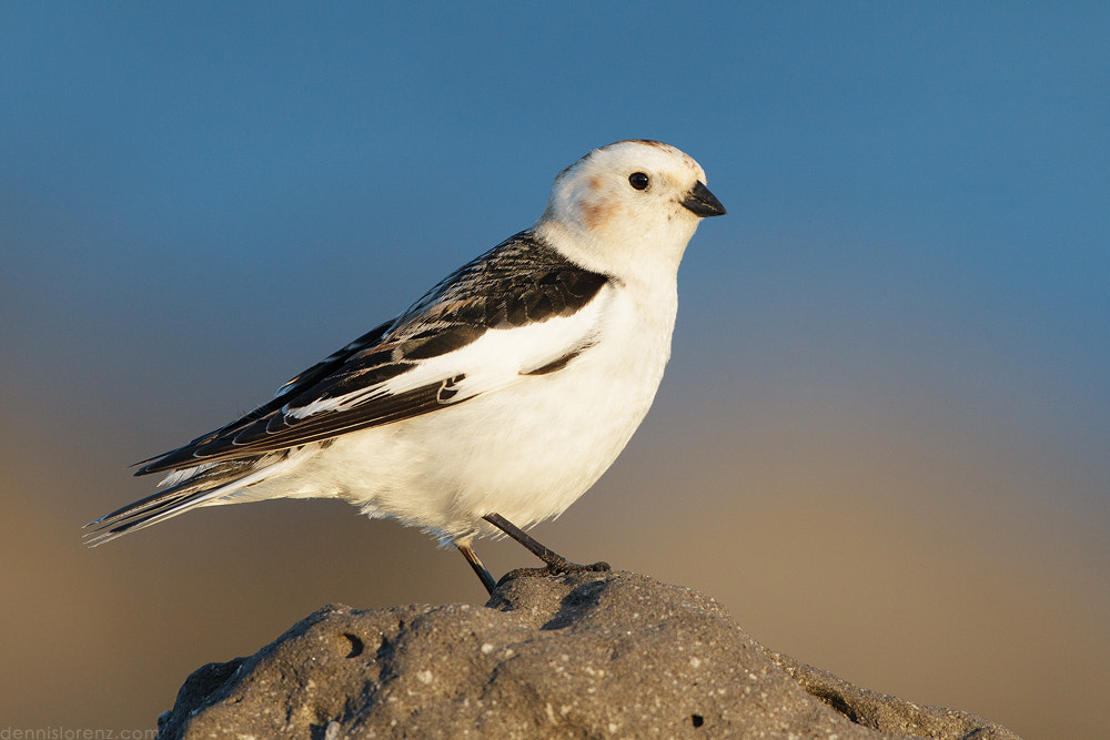 Photograph Snow Bunting by Dennis Lorenz on 500px