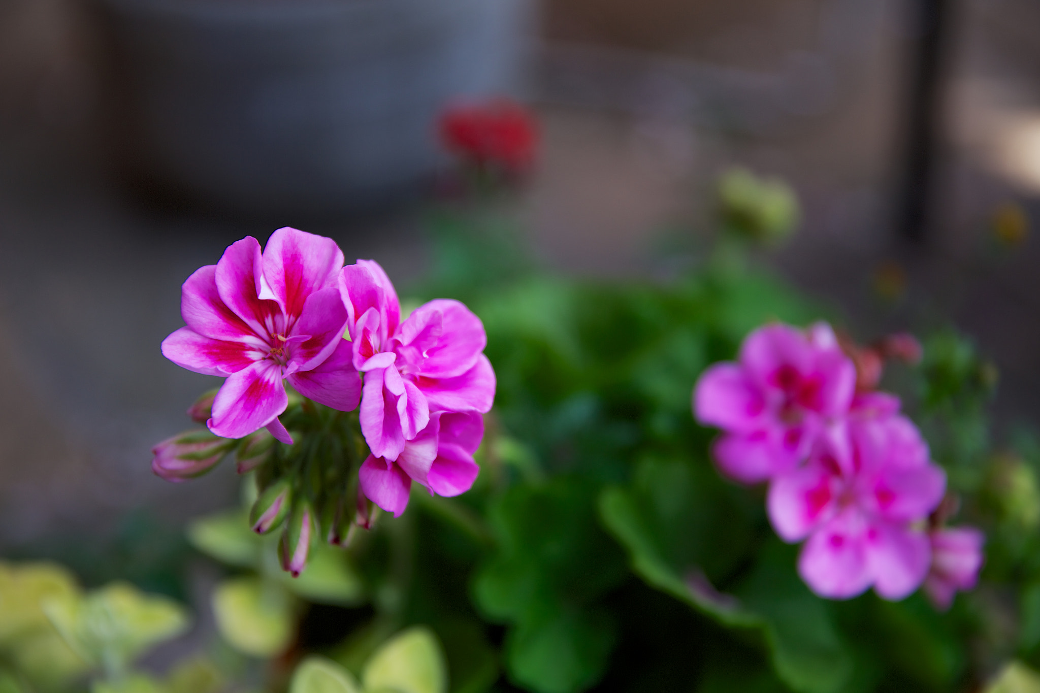 Photograph Pink flowers in a pot by Scotty Robson on 500px