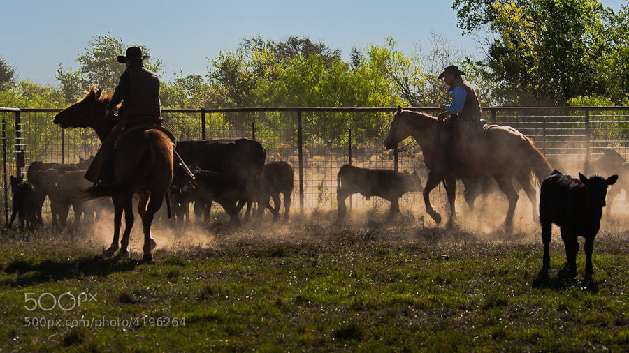 Calves are being separated out for branding