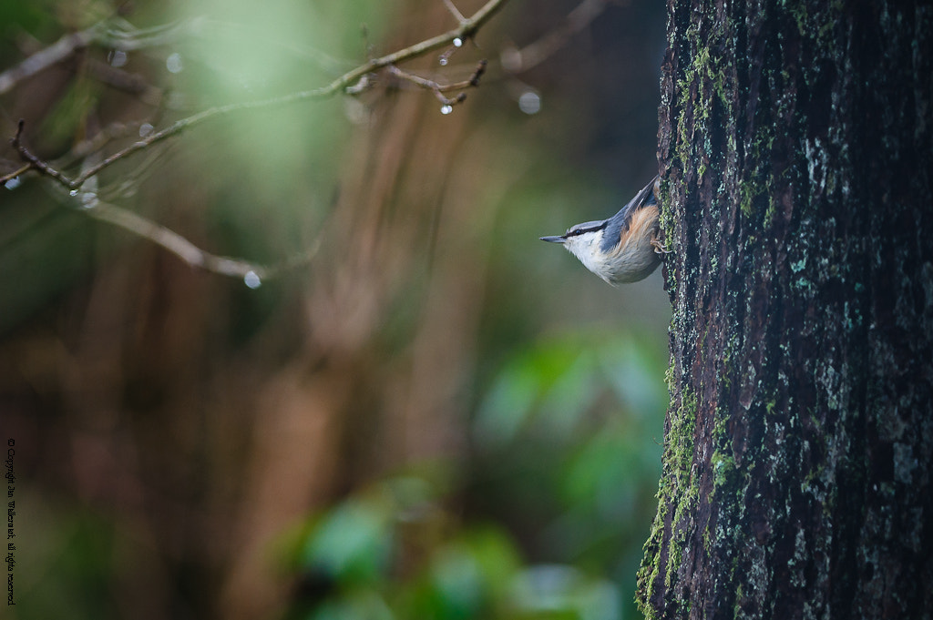 Photograph Nuthatch by Jan Wallermark on 500px