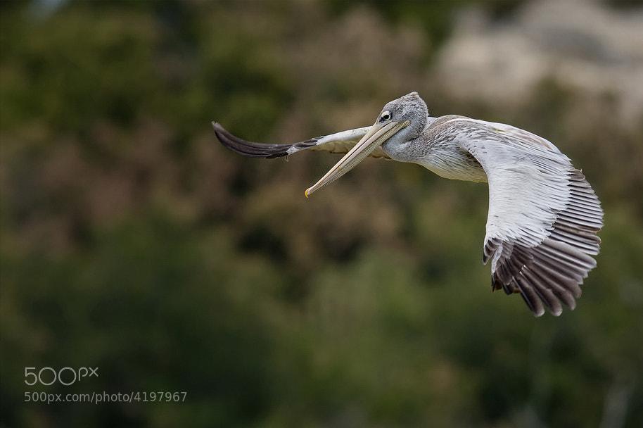 Photograph Pelican Flight by Laurent DUFOUR on 500px