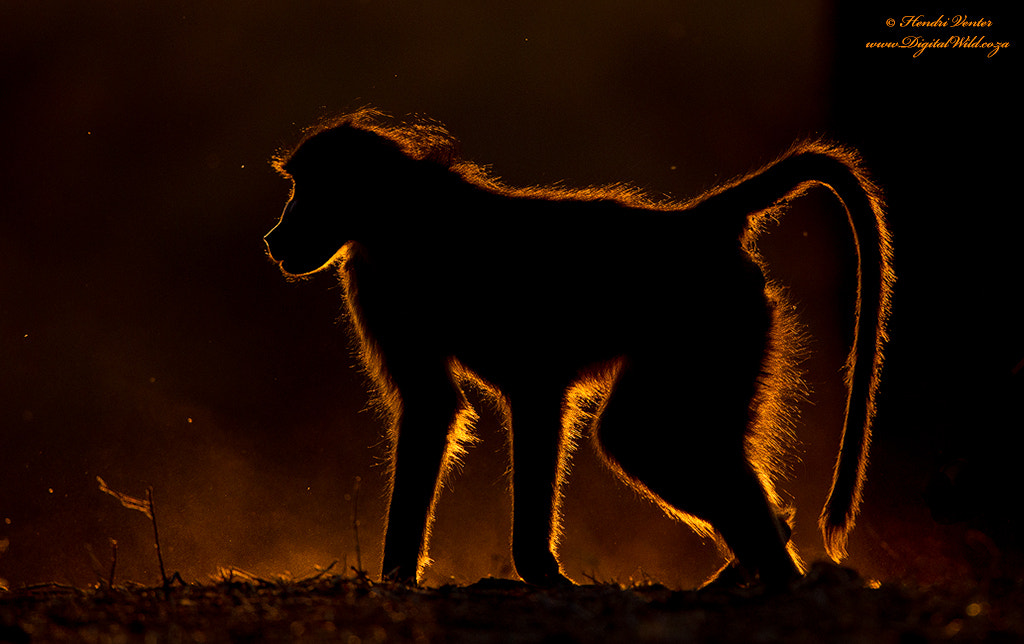 Photograph Backlit Baboon by Hendri Venter on 500px