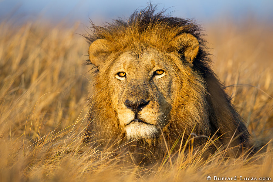 Earlier this month I was staying with Wilderness Safaris in Kafue National Park. My aim was to photograph the legendary male lion of the Busanga Plains. I didn't need to look hard, in fact he found me... just as I was waking up on my first day, I heard him roaring outside my room! I headed straight out and found him less than 100m away, posing cooperatively in the warm morning light!