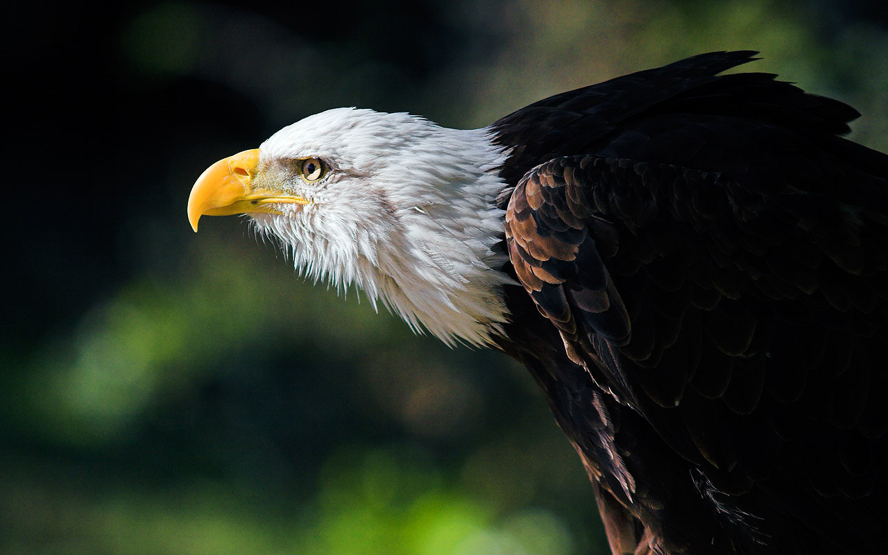 Photograph Bald eagle by Javier Abad on 500px