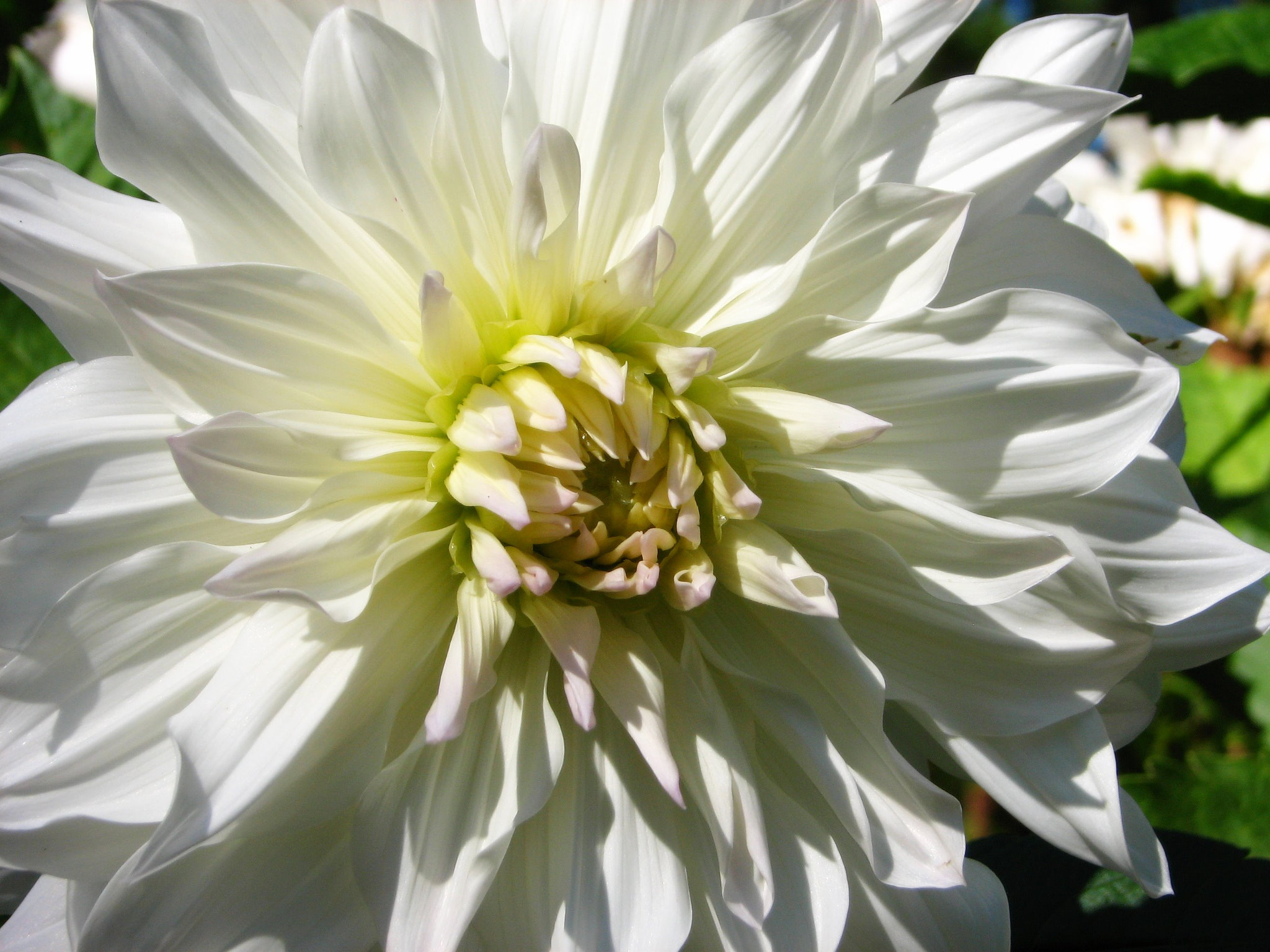 Photograph White Dahlia by Teresa OBrian on 500px