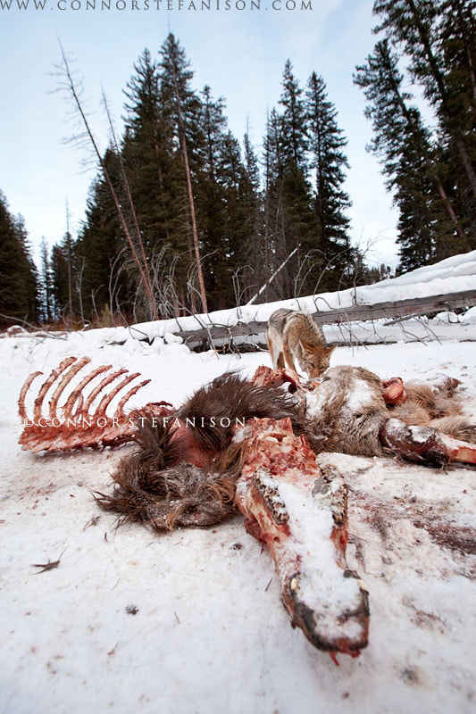 Photograph Coyote on Elk Carcass by Connor Stefanison on 500px