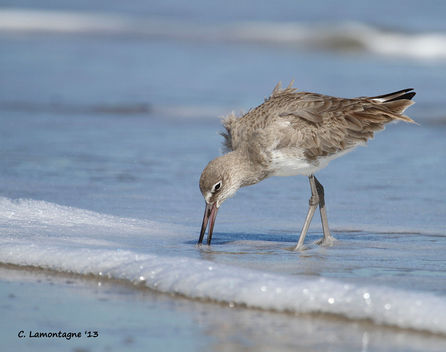 I enjoyed photographing some shore birds on Melbourne Beach in Florida including this Willet fishing for food. It was a little over 100F when I took this photo and the water felt good on my feet.