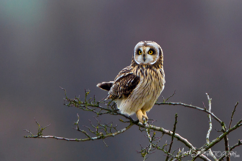 Photograph Short-eared Owl (Asio flammeus) by Mark Smith on 500px