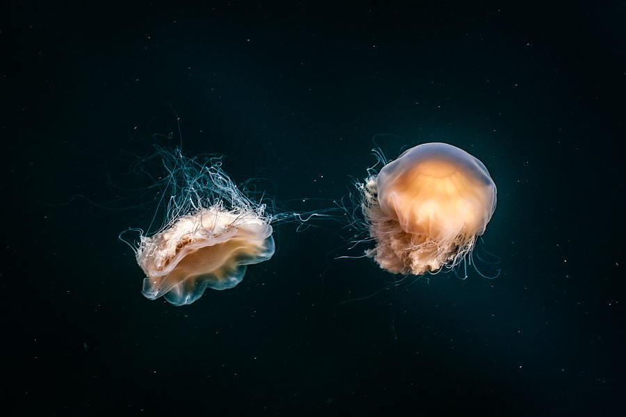 Photograph Jellyfish by Anders Johansson on 500px