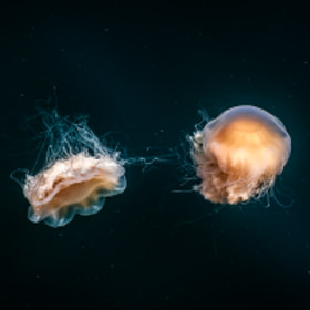 Jellyfish by Anders Johansson on 500px.com