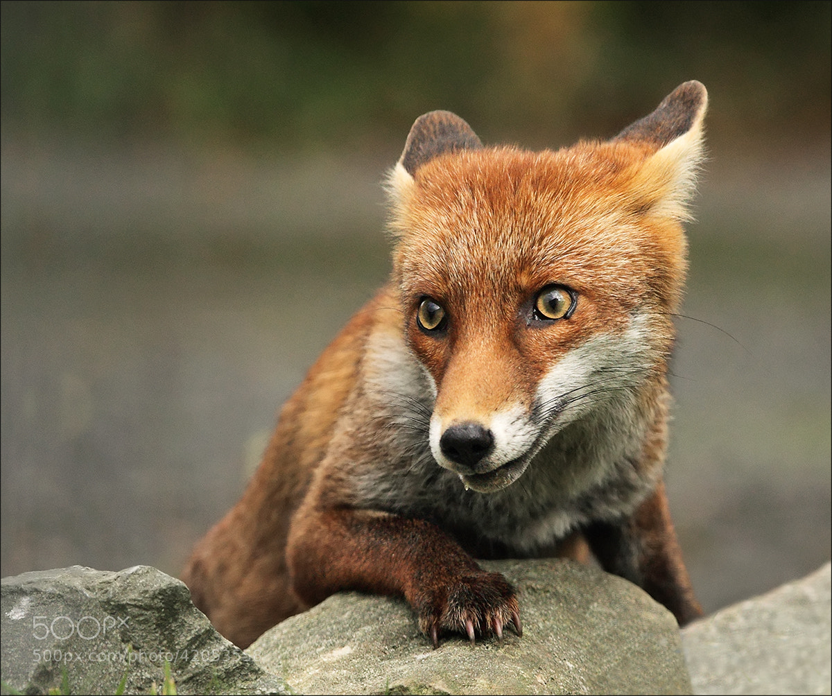 Photograph Foxy by Vivienne Beck on 500px