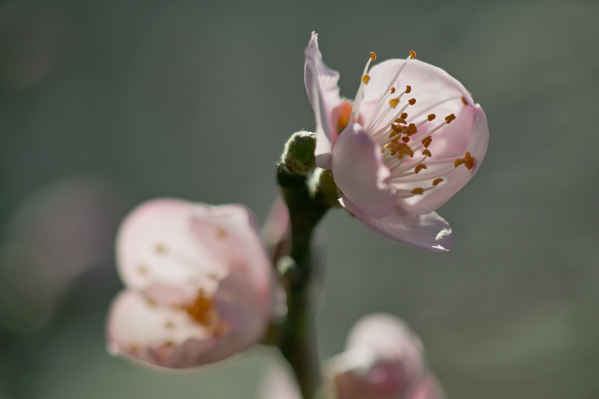 Photograph Almond Blossoms by halfrain X3 on 500px