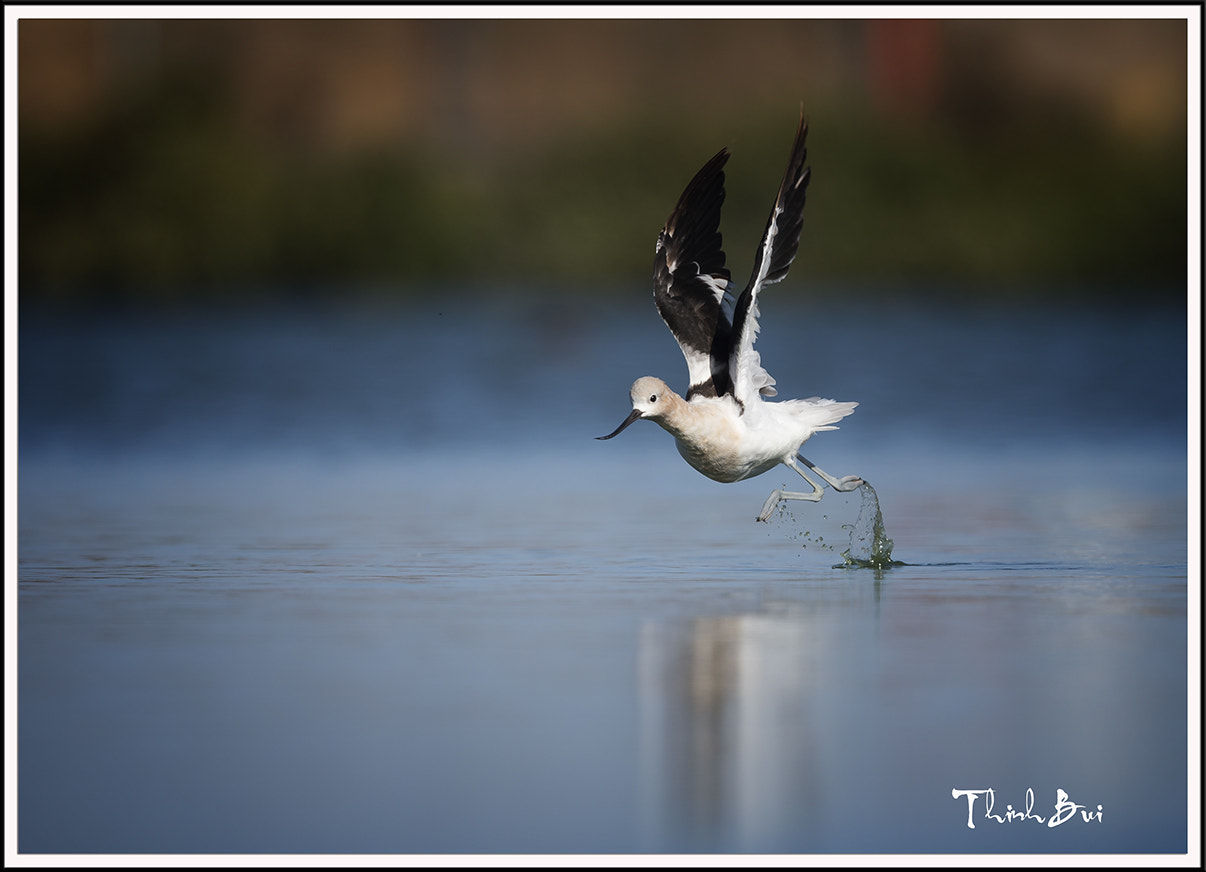 Photograph Avocet by Thinh Bui on 500px