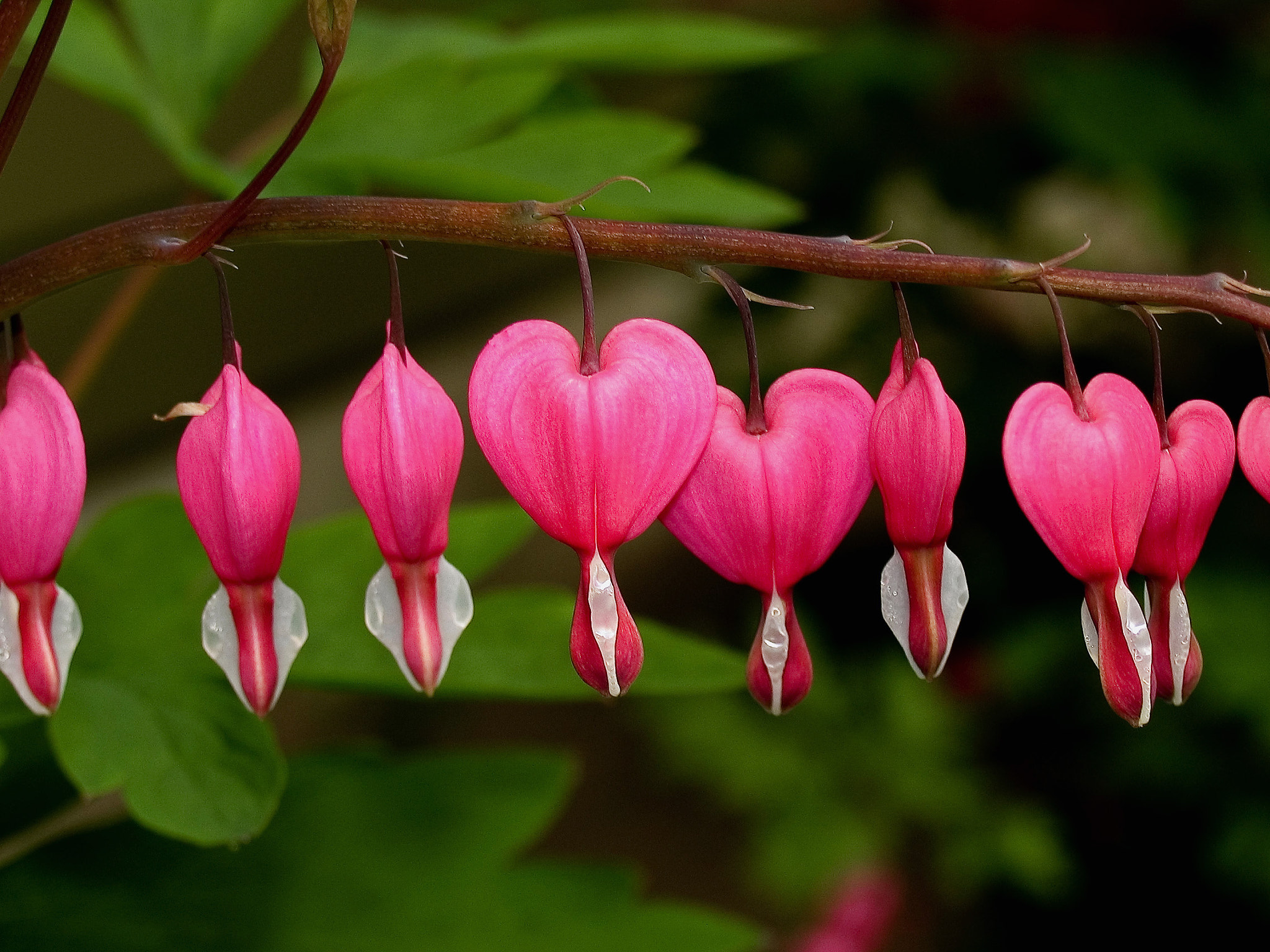 Photograph Bleeding Hearts by Steve Foster on 500px