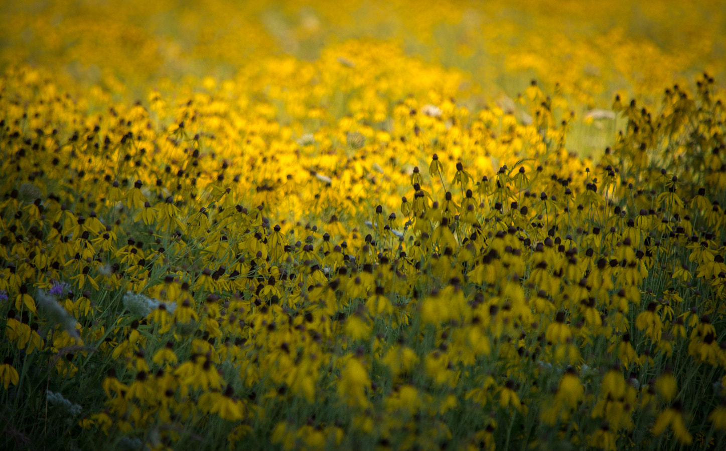 Photograph Coneflower Field by Stevan Tontich on 500px