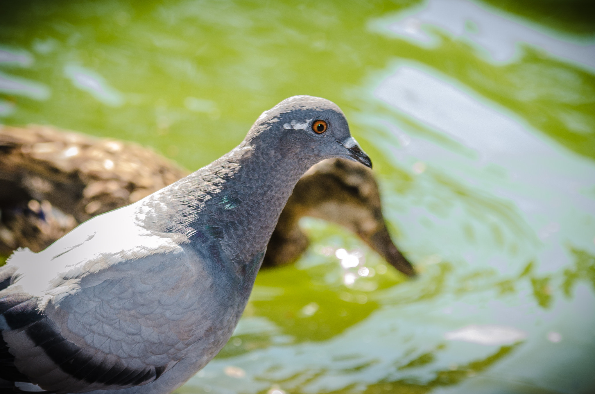 Photograph Taube oder Ente by Thomas TRENZ on 500px