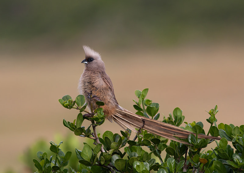 Photograph Speckled Mousebird by Desiré Darling on 500px
