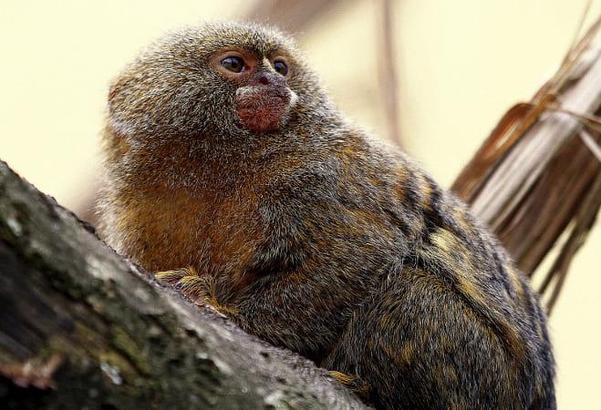 Pygmy marmoset - Smallest monkey of the world