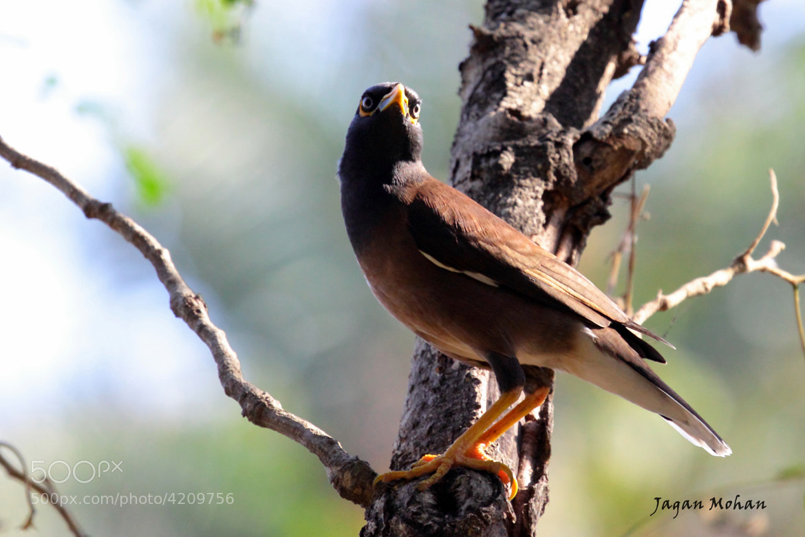 Photograph INDIAN MYNA by Jagan  on 500px