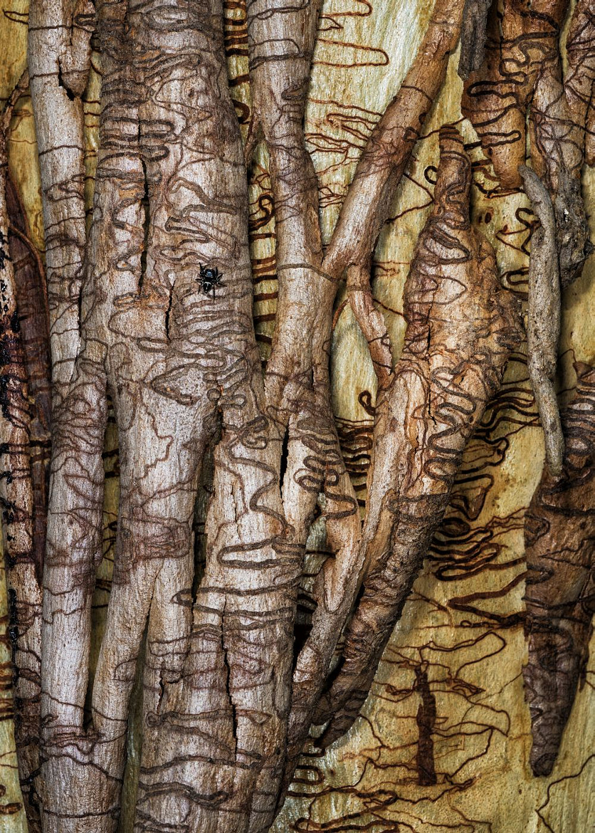 Photograph Scribbly Bark by Gayle Harrison on 500px