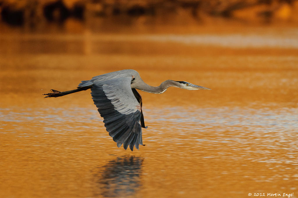 Photograph Great Blue Heron by Martin Engel on 500px