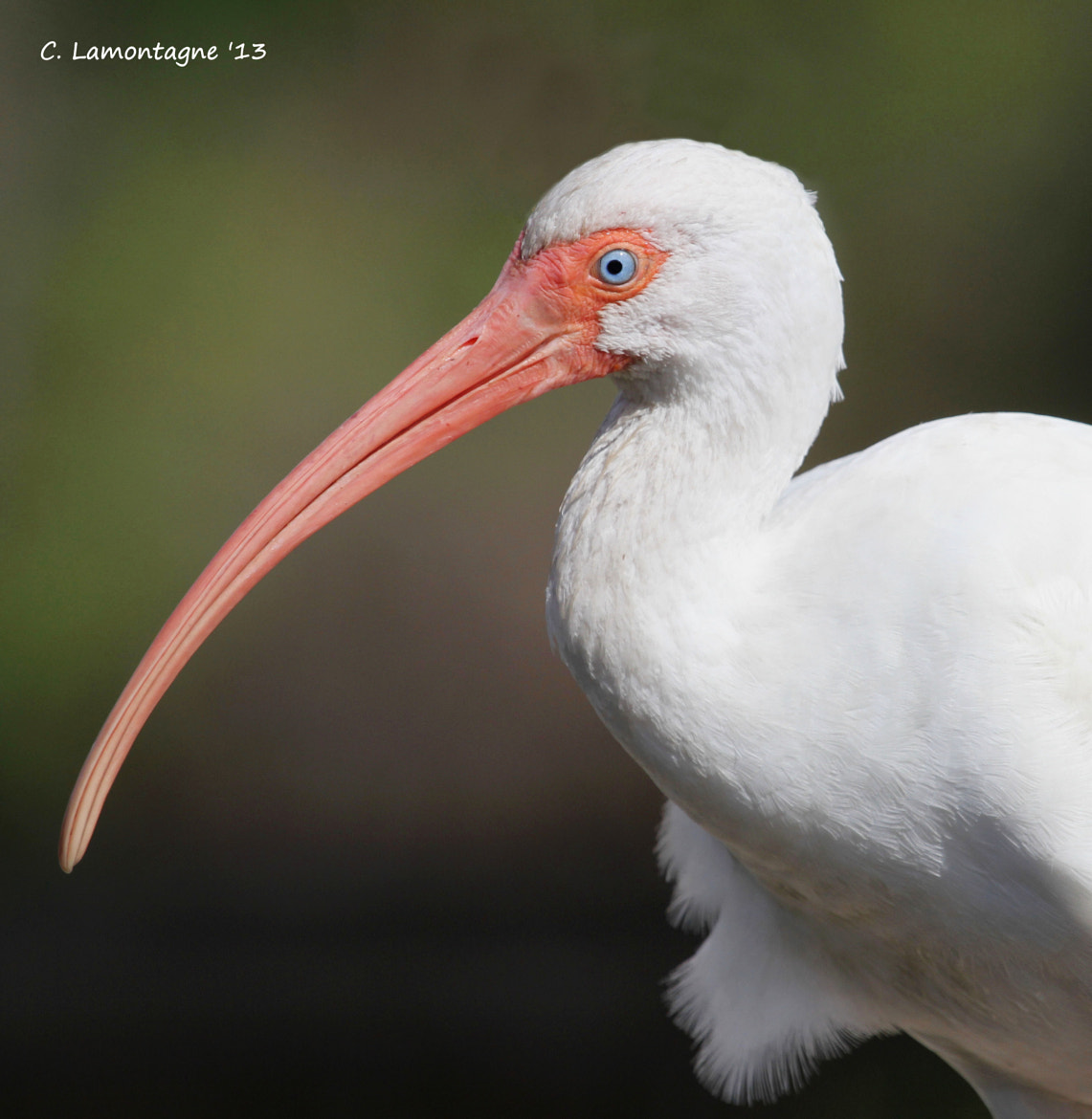 Photograph White Ibis by Corinne Lamontagne on 500px