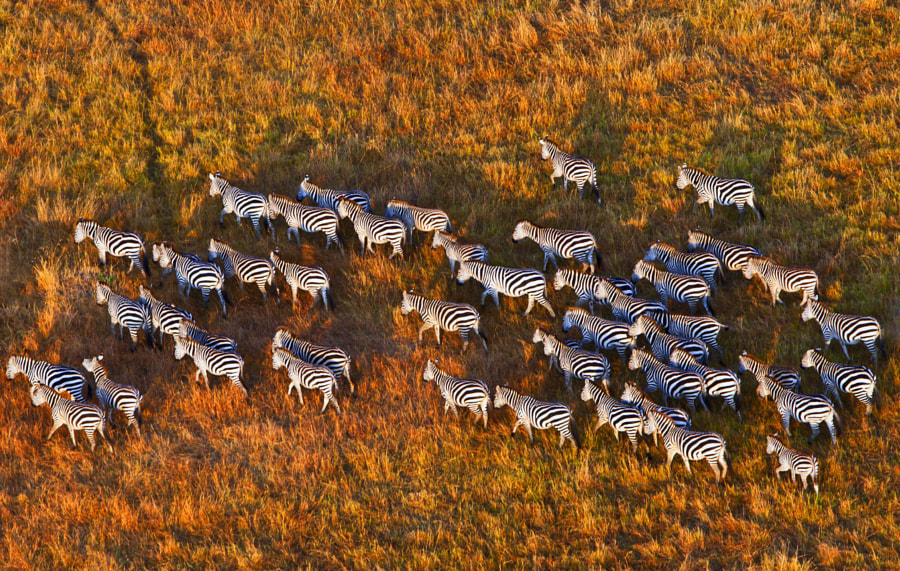 Cape Mountain Zebra by Ying-Ko Feng on 500px.com
