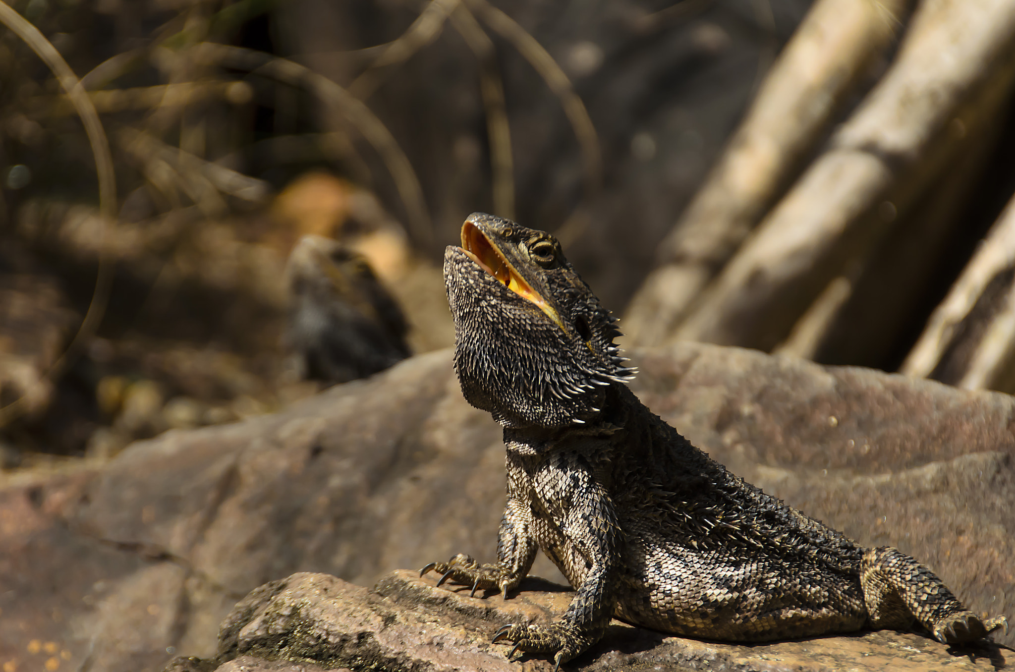 Photograph Bearded Dragon by Martijn Barendregt on 500px