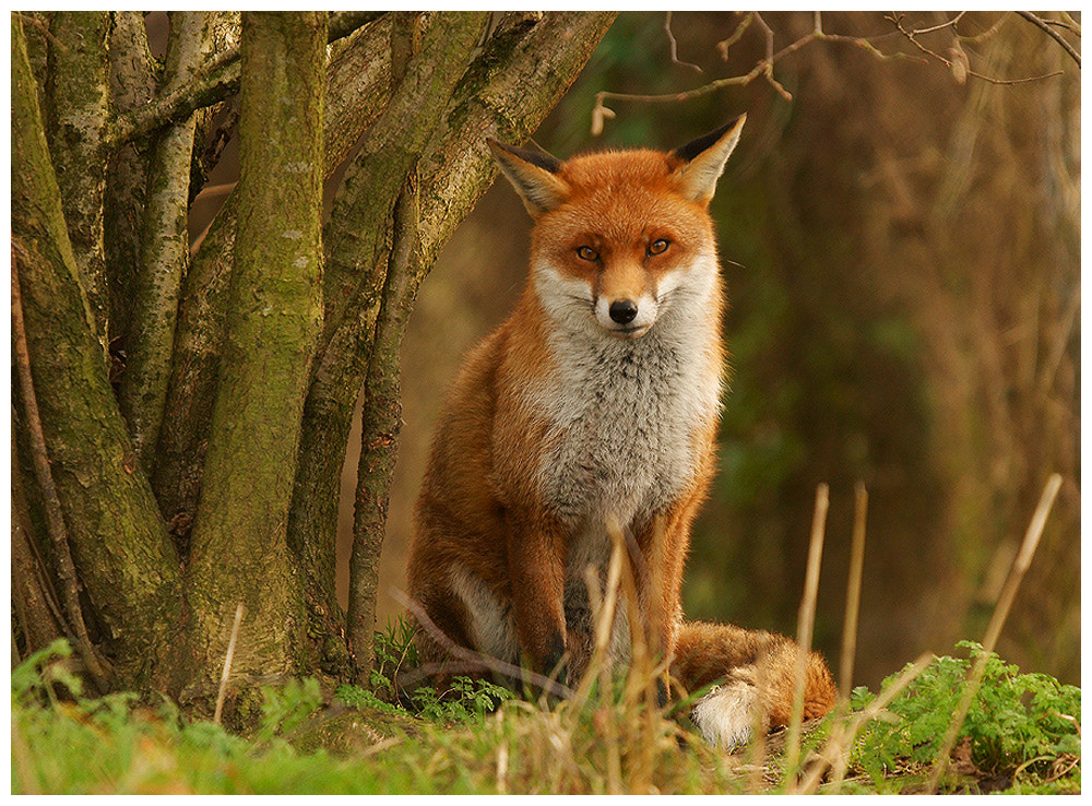 Photograph Fox (c) by Geoffrey Baker on 500px
