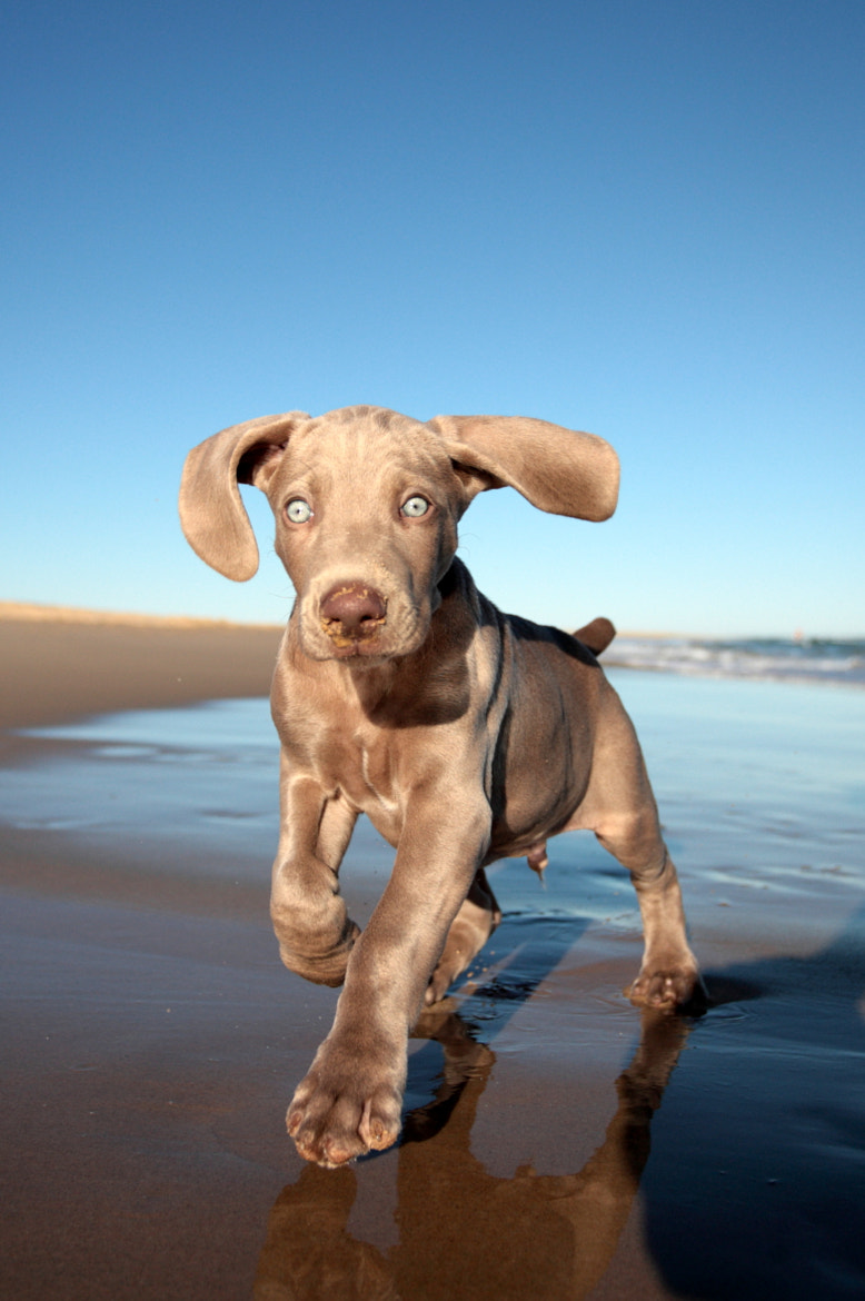 Photograph WEIMARANER PUPPY by Jonathan Pledger on 500px