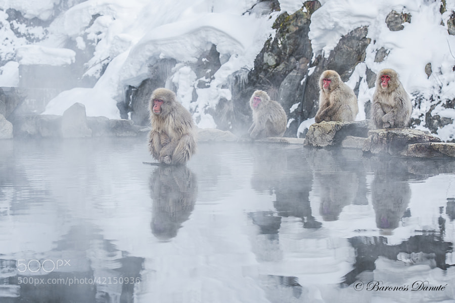 Photograph JAPANESE SNOW MONKEYS by Baroness on 500px