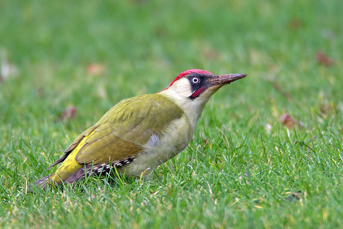 Photograph Green Woodpecker by Ian Cook on 500px